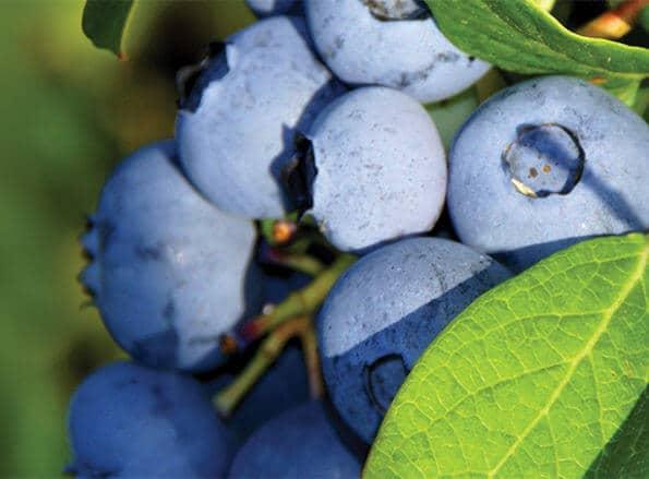 https://es.rivulis.com/wp-content/uploads/2019/05/Blueberries_bg-595x439.jpg