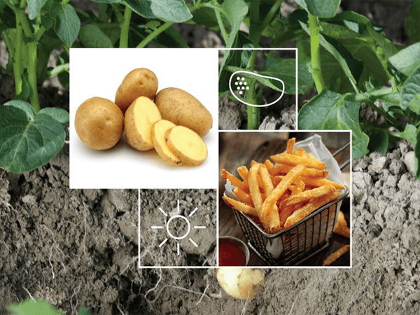 Potato Irrigation Solutions