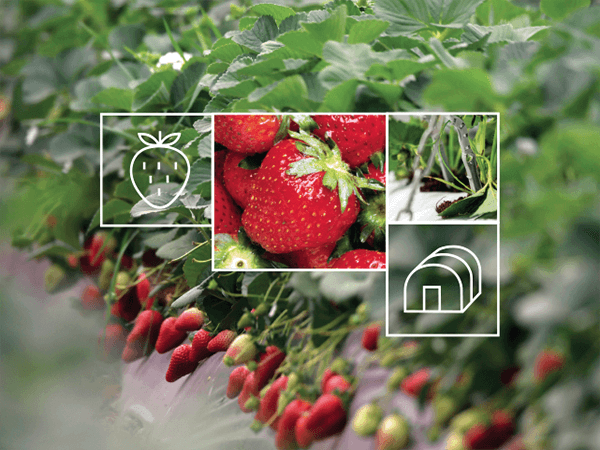 Strawberry Irrigation Solutions